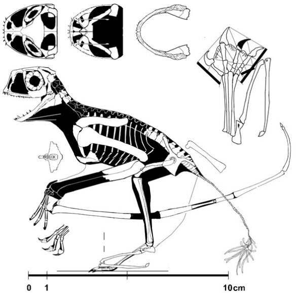 Figure 3. Batrachognathus volans recontructed. Note the tail is not half again as long as the humerus and not provided with stiffening spines, casting doubt on the identification of the Costa specimen.