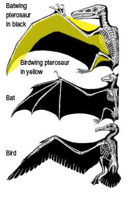 Comparing pterosaurs, bats and birds.