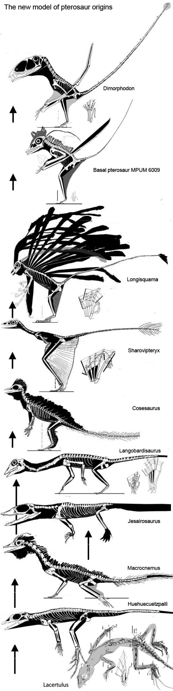 Squamates, tritosaurs and fenestrasaurs in the phylogenetic lineage preceding the origin of the Pterosauria.