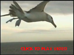 Hovering albatross video