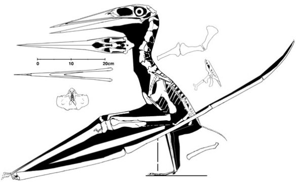 Nyctosaurus in lateral view
