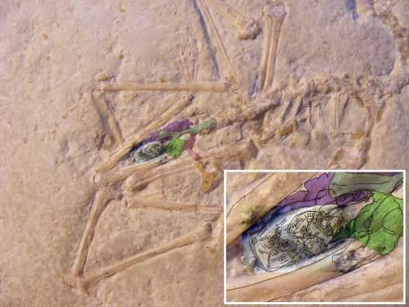 Ornithocephalus pterosaur egg.