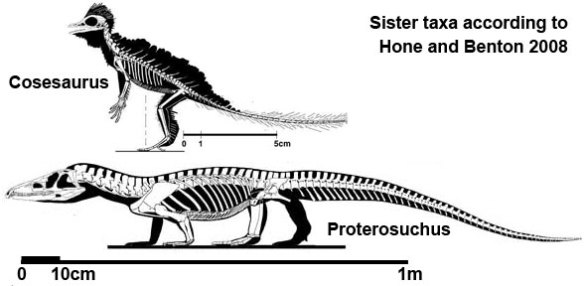 Fig. 6. Hone and Benton recovered Cosesaurus as a sister to Proterosuchus, which, on the face of it, appears unlikely.