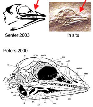 Fig. 3. Red arrow points to the antorbital fenestra without a fossa in Cosesaurus.