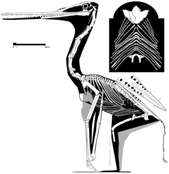 Sos 2428. The flightless pterosaur.