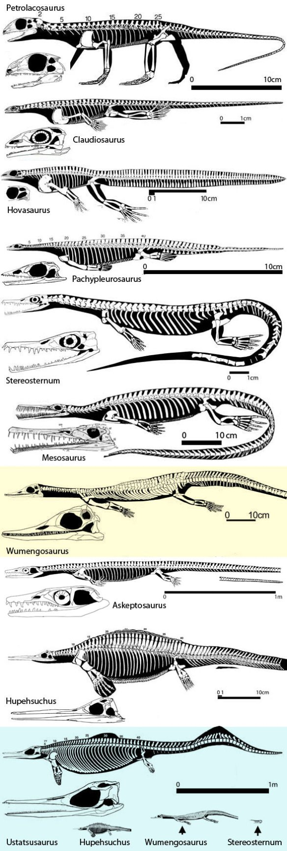 Figure 3. The sisters of Mesosaurus from the basal diapsid, Petrolacosaurus to the basal ichthyosaur, Utatsusaurus.