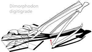 Dimorphodon pes with shadows.