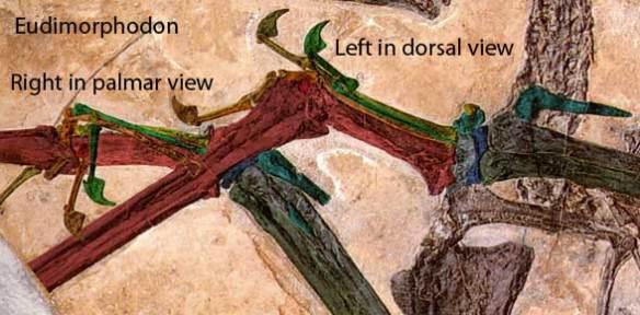 Eudimorphodon hands.