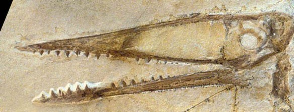 Germanodactylus skull