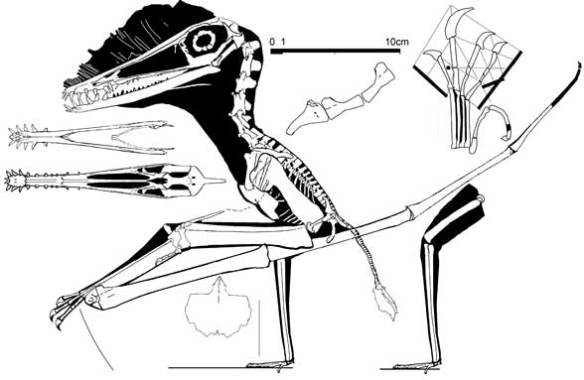 Figure 6. Haopterus is close to Mimodactylus and provides a bauplan for a bipedal stance. Note the tiny feet and palate morphology.