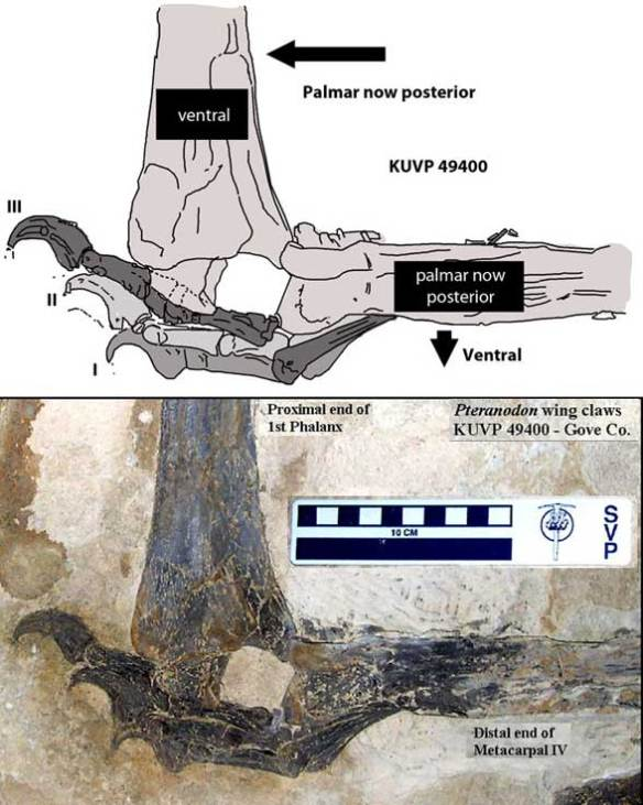 The left manus of Pteranodon KUVP 49400