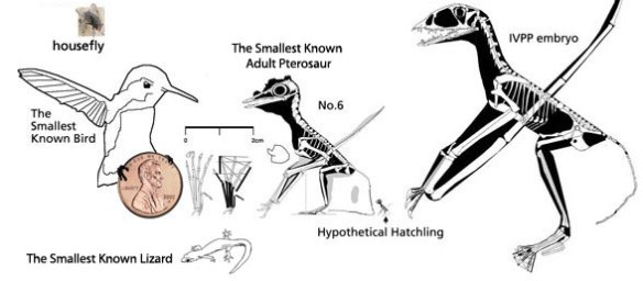 The smallest known pterosaur, bird and lizard.