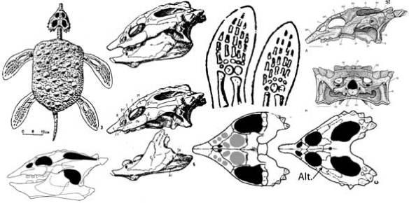 Placochelys