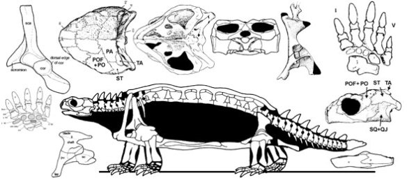 Proganochelys. Formerly the most primitive turtle.