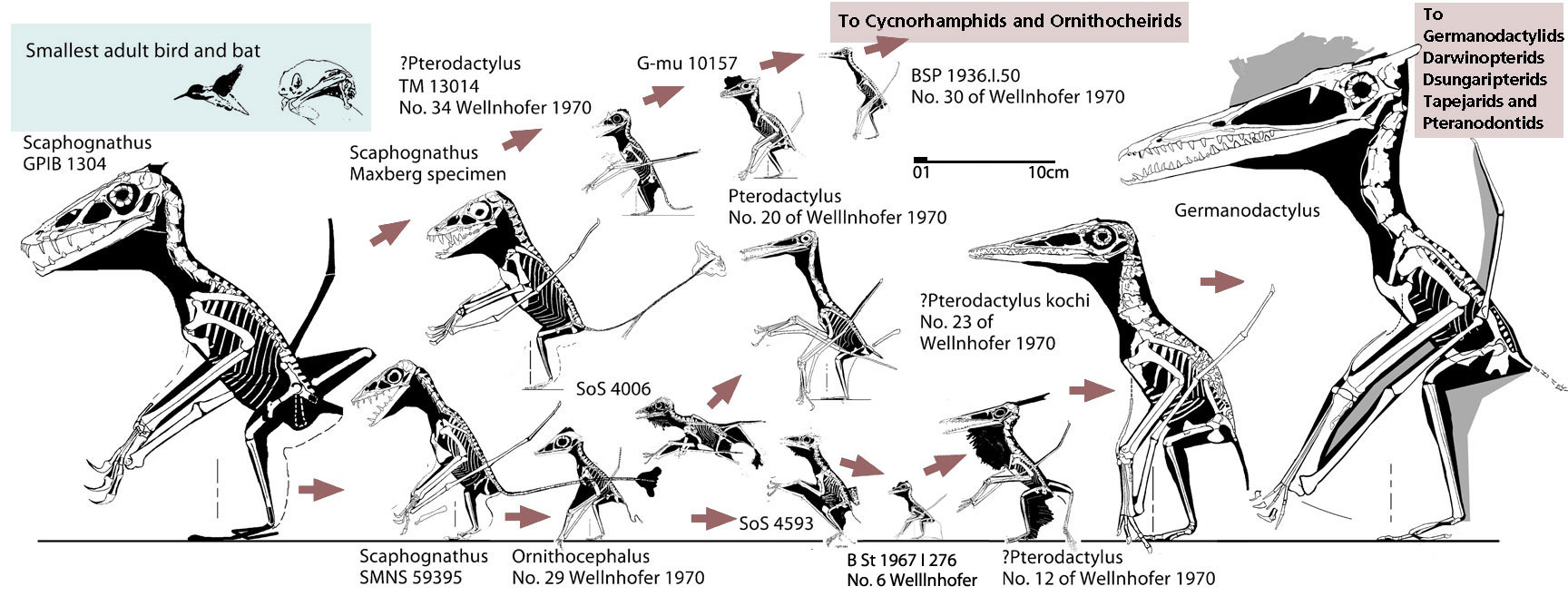 Reptileevolution And Tetrapod Zoology Part 5 The Pterosaur