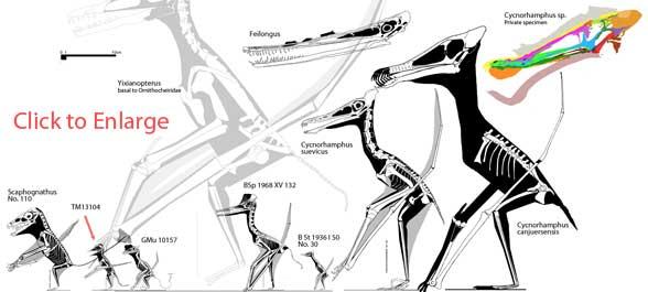 Cycnorhamphus, its sisters and predecessor taxa