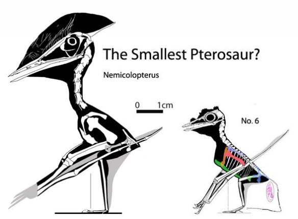 Figure 2. Nemicolopterus has been described as the smallest pterosaur, but No. 6 in the Wellnhofer (1970) catalog was only half as tall.