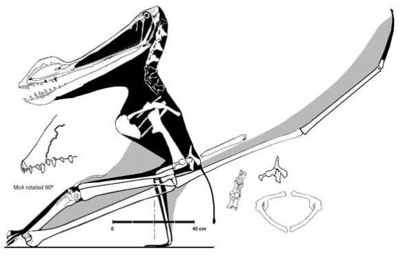 The largest ornithocheirid