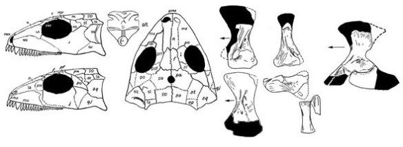 Stephanospondylus from Romer (1925).