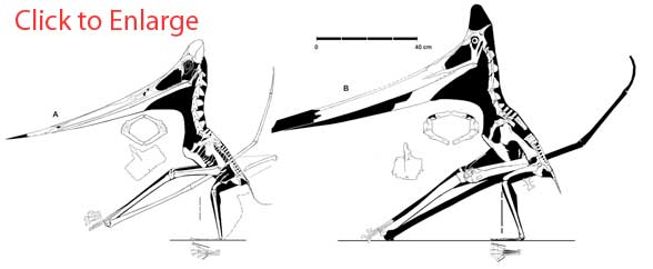 Figure 3. The Triebold specimen and UALVP 24238, the two most complete Pteranodon known. Neither has quite the neck length exhibited by the LACM specimen.