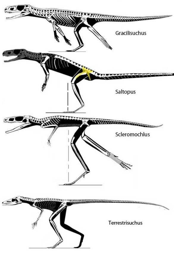 Basal Crocodylomorpha