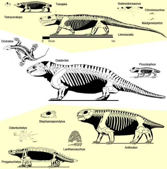 Basal Diadectomorpha