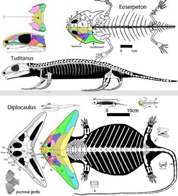 The evolution of Diplocaulus, including Tuditanus and Eoserpeton.