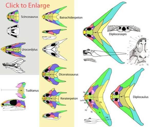 Diplocaulus and Diploceraspis evolution