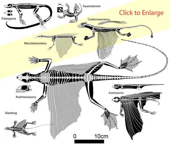 The Triassic kuehneosaur gliders and their non-gliding precursors.