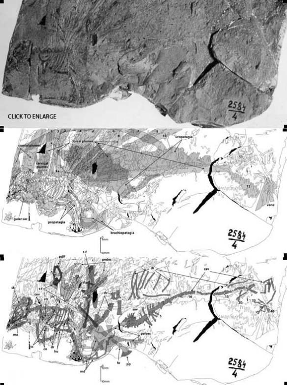 New tracings of Longsiquama