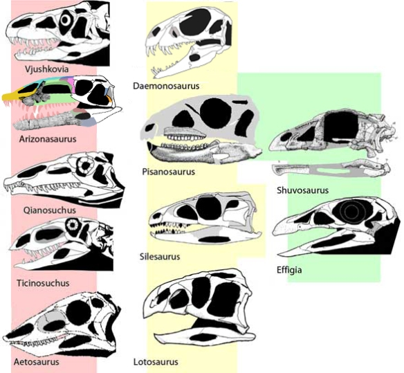 Figure 4. Lotosaurus family tree according to the large study, not the Nesbitt study.