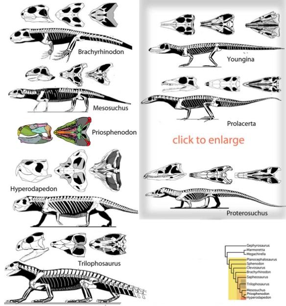 rhynchosaurs588