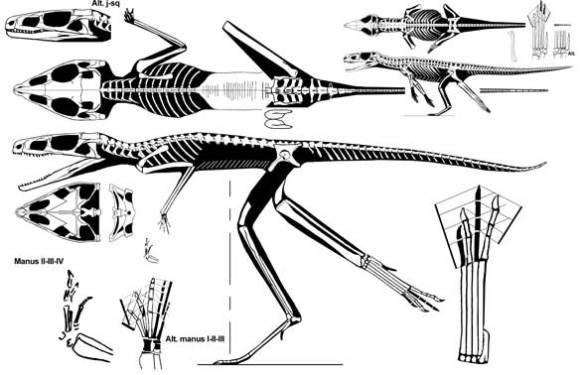 Scleromochlus, a basal crocodylomorph