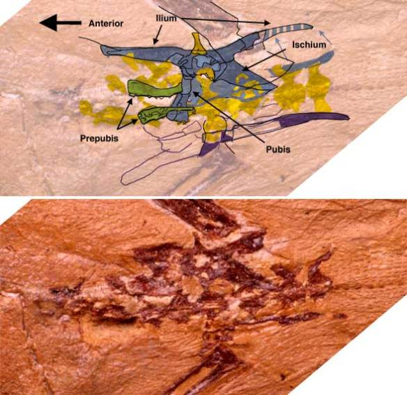 The pelvis and prepubes of Sharovipteryx.