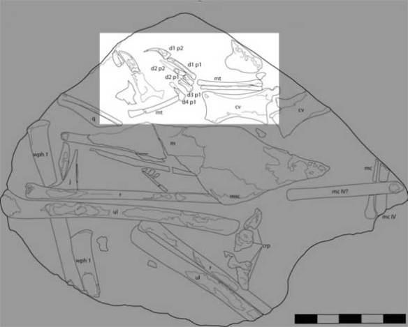 Original illustration of the Taejara fossil