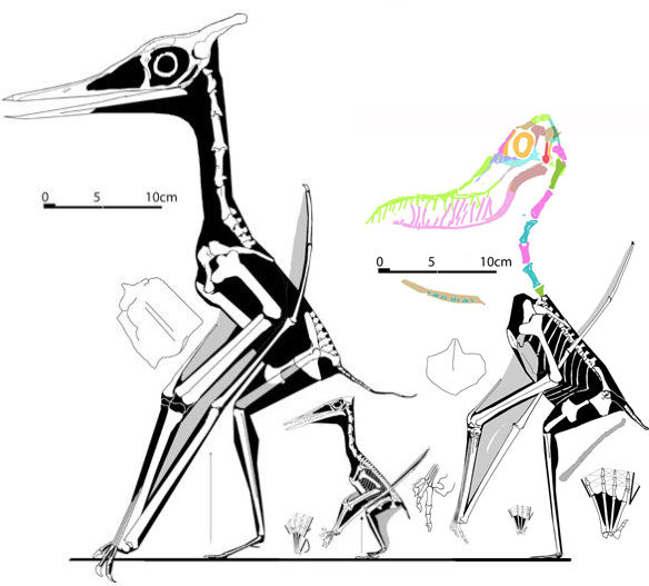 Figure 2. Left to right, Eopteranodon, Wellnhofer's No. 13 and Aurorazhdarcho, sisters that nest far from the Azhdarchidae.