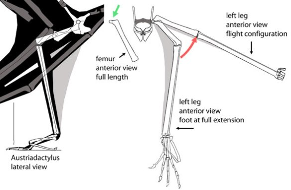 Austriadactylus femur. Range of motion.