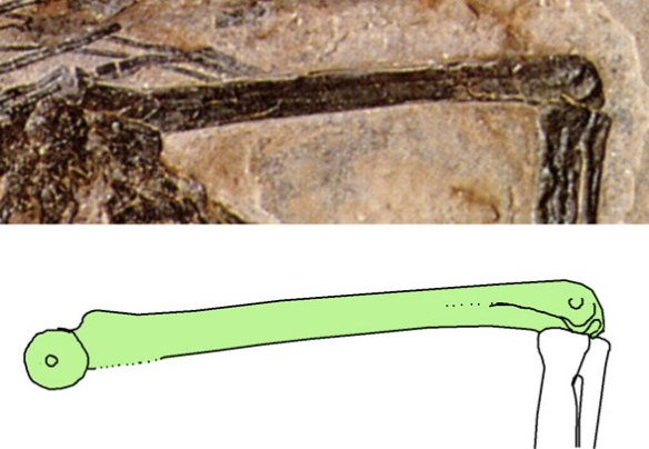 Eudimorphodon ranzii femur in medial view