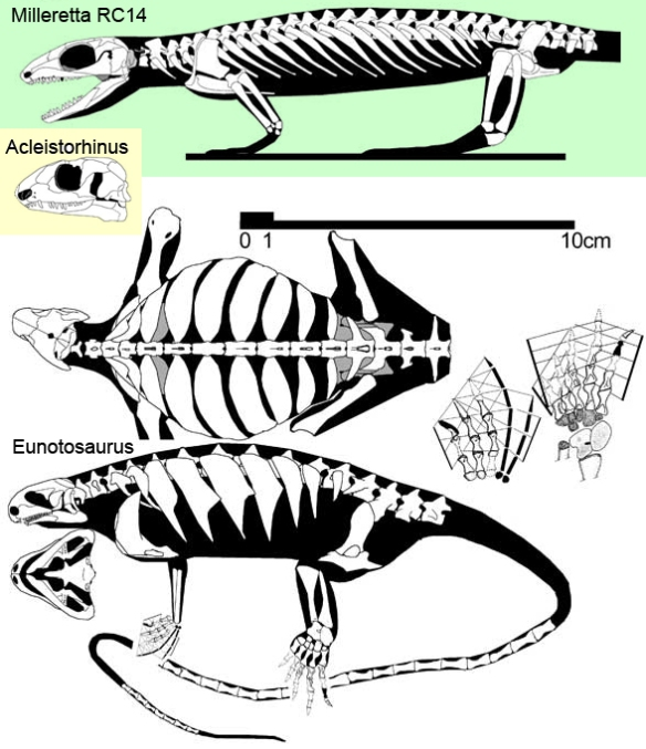 Eunotosaurus and its sister taxa, Acleistorhinus and Milleretta RC14.