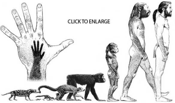 Figure 2. Human evolution back to the cynodonts, some 230 mya.