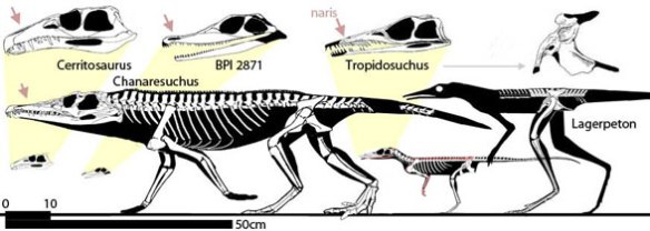 Chanaresuchids to scale, including Tropidosuchus and Lagerpeton.