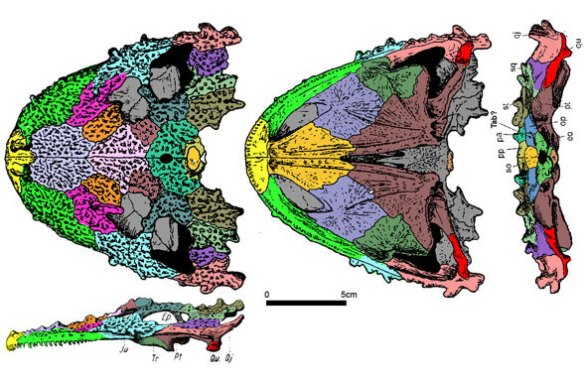 The skull of Lanthanosuchus in several views and colorized.