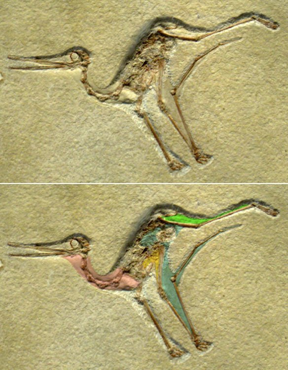 Here's how the wing membrane in pterosaurs virtually disappeared when folded.