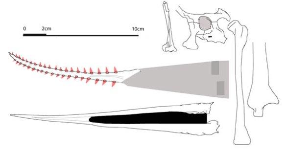 Prejanopterus parts to scale.