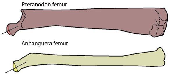 Pterosaur femur samples. A