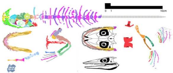 Figure 3. Romeriscus, the flattened sister to Lanthanosuchus.