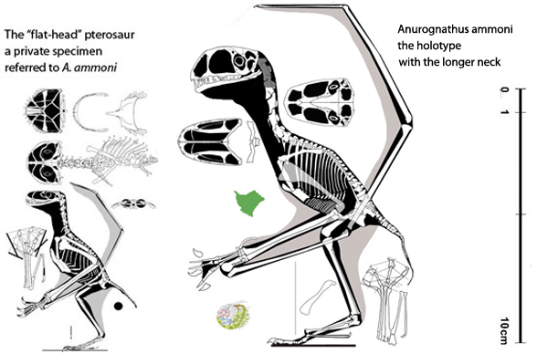 Figure 1. The flat-head pterosaur, a private specimen (on the left) attributed by Bennett (2007) to Anurognathus ammoni (on the right).