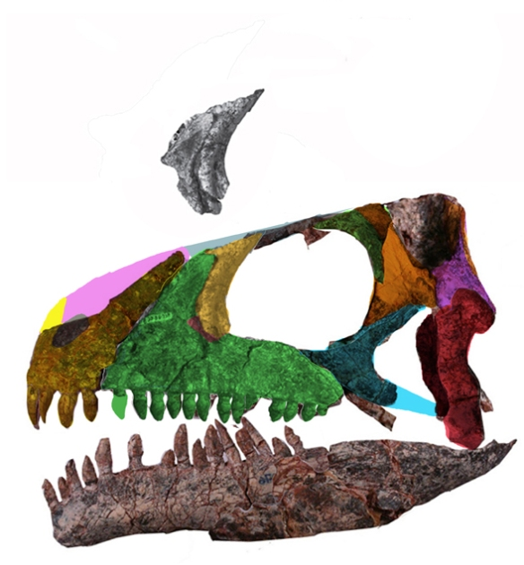Figure 2. DGS applied to the skull of Azendohsaurus. Note the new addition of a lateral naris, not previously noted.