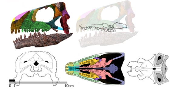 Figure 1. The skull and palate of Azendohsaurus, a sister to Trilophosaurus.