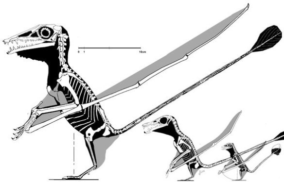 the Campylognathoides to Rhamphorhynchus transition